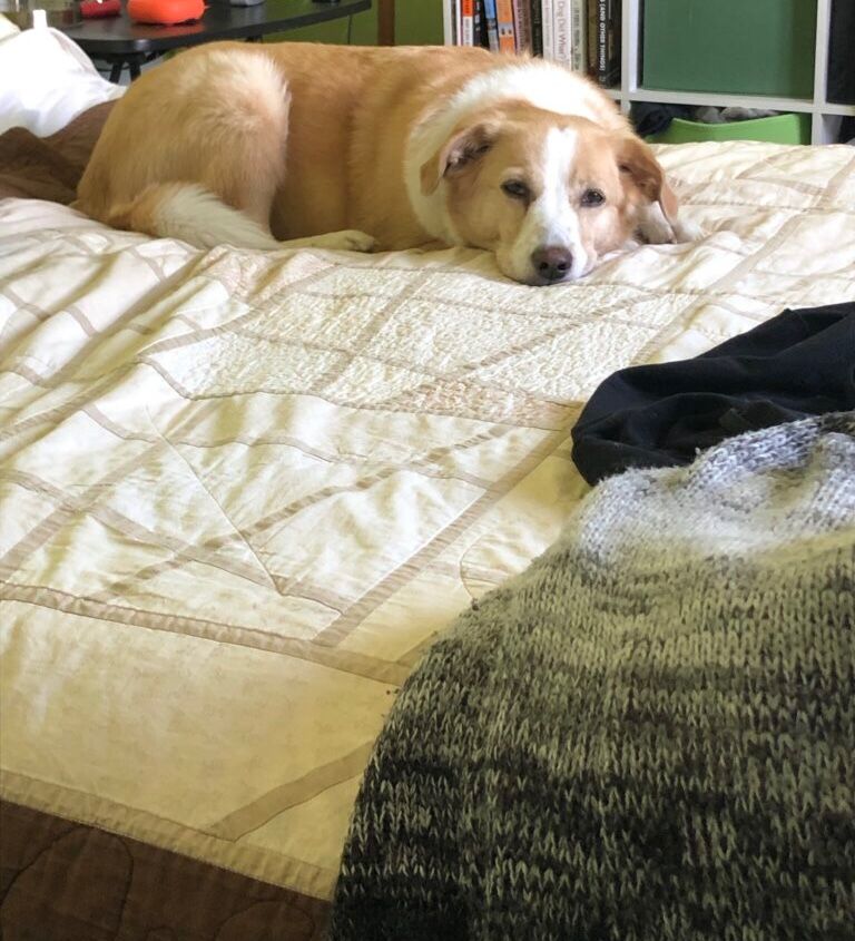 A light-haired dog is lying on her belly on a bed.