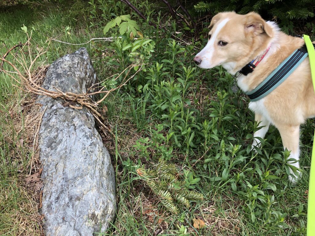 A large rock sticks out of the ground, surrounded by greenery. A light haired dog stands nearby.