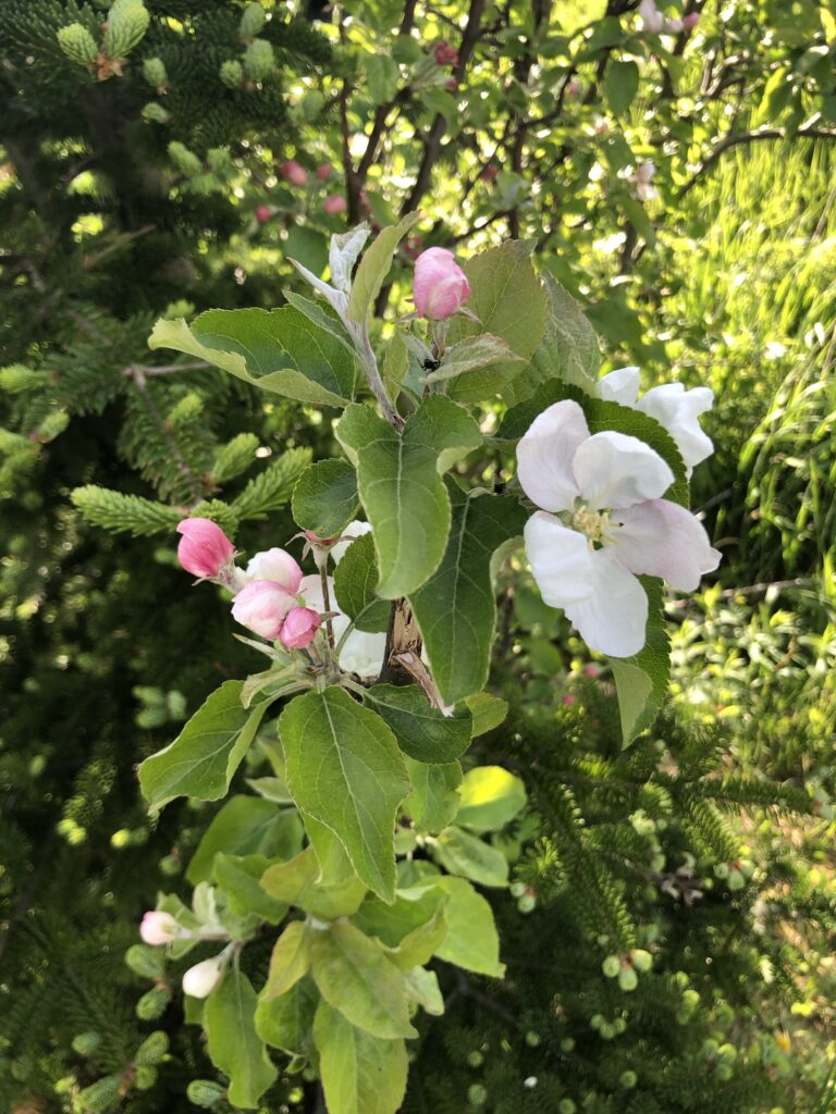 Green leaves, pink buds, and a white flower on a tree.