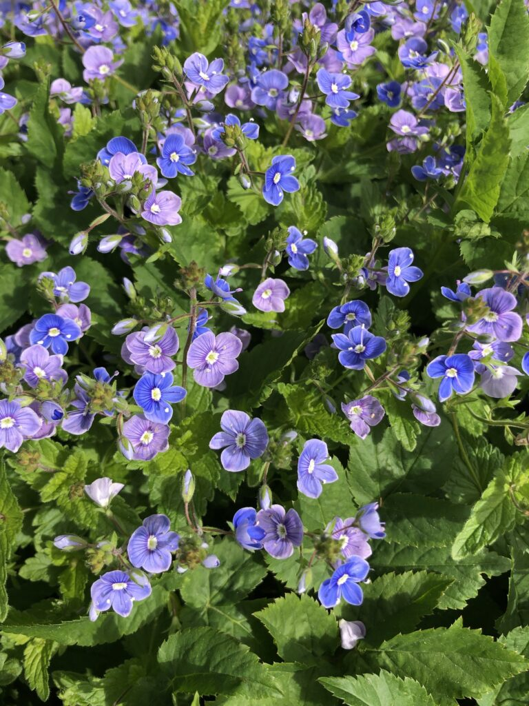 A patch of small purple flowers surrounded by green leaves