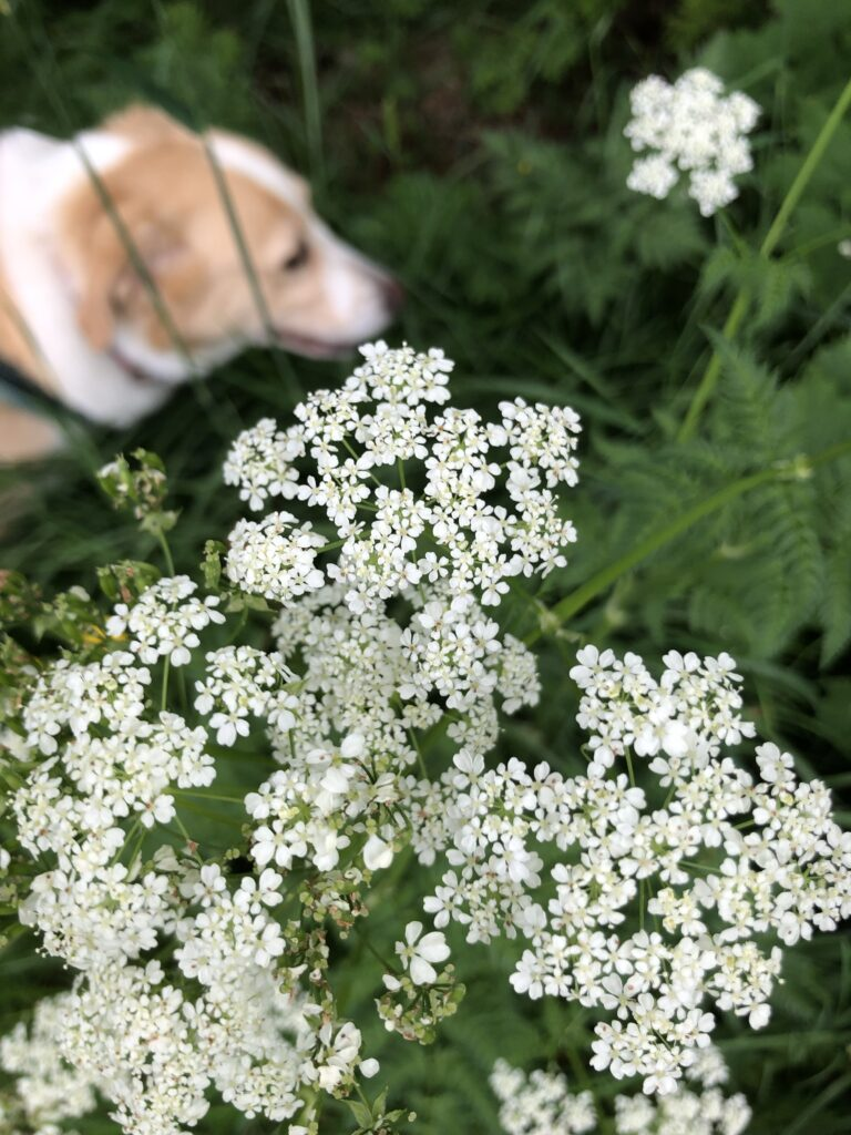 A light-haired dog walking among some white flowers.