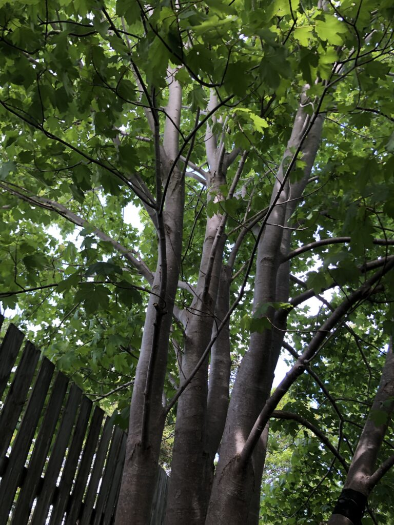 The trunks and leaves ?of four large maple trees very close to one another next to a fence.